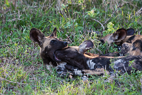 African-Hunting-Dog-008