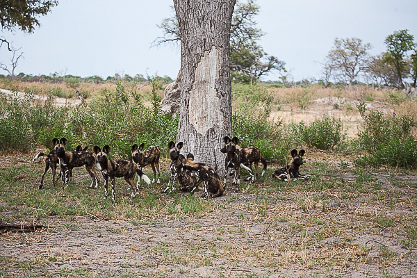 African-Hunting-Dog-9560