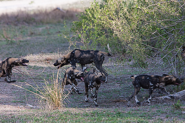 African-Hunting-Dog-039