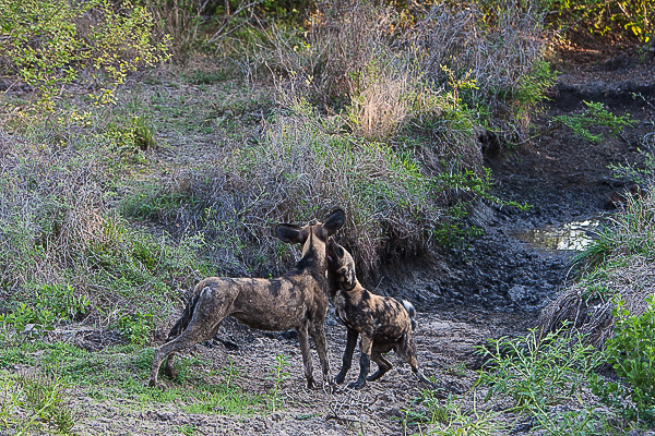 African-Hunting-Dog-063