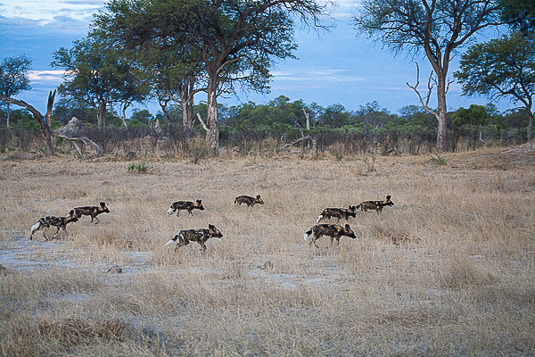 African-Hunting-Dog-9216