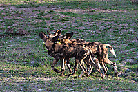 African-Hunting-Dog-054