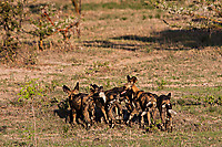 African-Hunting-Dog-058