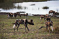 African-Hunting-Dog-9025