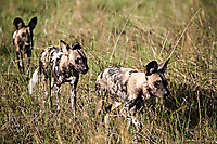 African-Hunting-Dog-9154