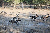African-Hunting-Dog-9182