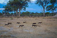 African-Hunting-Dog-9217