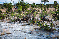 African-Hunting-Dog-9225