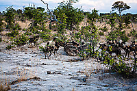 African-Hunting-Dog-9228