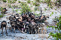 African-Hunting-Dog-9245