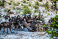 African-Hunting-Dog-9251