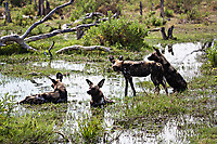 African-Hunting-Dog-9515