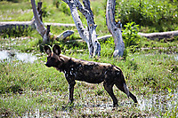 African-Hunting-Dog-9520